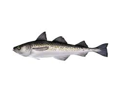 pollock fish